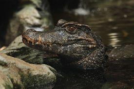 picture of crocodilian  - Smooth - JPG