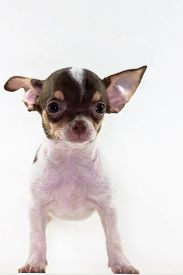 image of chiwawa  - Cute Puppy short hair Chiwawa in White background - JPG