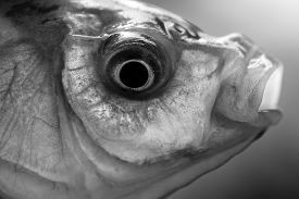 picture of fresh water fish  - Closeup of one fresh alive river or lake water wet fish head with rounf eye and open mouth outdoor on natural background black and white horizontal picture - JPG