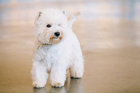 stock photo of westie  - West Highland White Terrier - JPG