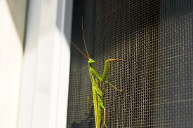 picture of predator  - Praying Mantis insect in nature as a symbol of green natural extermination and pest control with a predator that hunts and eats other insects as an icon of entomology biology education - JPG