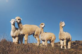 picture of lamas  - Herd Lamas Wilderness Alpaca Animal Livestock Rural Concept - JPG