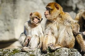 foto of macaque  - Young Barbary Macaque Next To An Adult Female - JPG