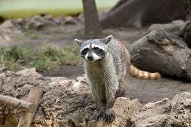 stock photo of raccoon  - Raccoon sitting and staring intently - JPG
