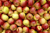 stock photo of apple orchard  - a shot of many crisp winter apples freshly harvested ready for sale - JPG