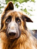 Photo of beautiful sad dog, closeup portrait of German shepherd, brown dog looking at camera, domest poster