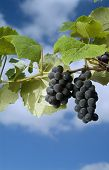image of grape-vine  - Isabella grapes on vine against cloudy blue sky - JPG