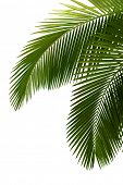 picture of tree leaves  - Leaves of palm tree  isolated on white background - JPG