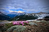 Clover Flowers In Alpine Meadows. Clover Pink Blossoms In Mountains On Independence Pass In Colorado poster