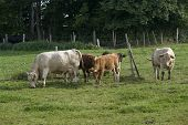 picture of feedlot  - some cows in Southern Germany near forest edge at summer time - JPG