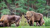 A Small Herd Of European Bison (bison Bonasus), Also Known As Wisent Or The European Wood Bison, Are poster
