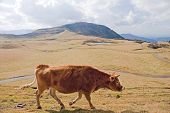 Cow On Alpine Pasture