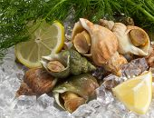 picture of whelk  - whelks with dill and lemon on ice - JPG