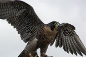 picture of mph  - The Peregrine Falcon has the ability to reach speeds over 200 mph making it the fastest animal in the world - JPG