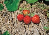 foto of strawberry plant  - strawberry on straw
