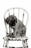 foto of english-mastiff  - Newborn English Mastiff puppy sitting on a vintage chair - JPG