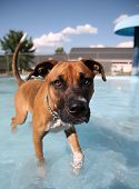 a boxer swimming in a public pool