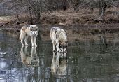foto of mating animal  - Two pack mates standing on a frozen lake with reflection - JPG
