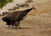 pic of female peacock  - female peacock walking on a path with her three chicks - JPG