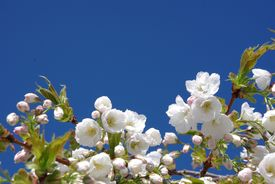 foto of cherry blossoms  - Fresh white cherry blossom against a bright blue sky - JPG