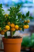 picture of tangerine-tree  - decorative tangerine trees for sale - JPG