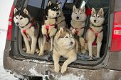 image of sled dog  - Sled dogs in a car before the racing - JPG