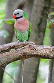 image of parakeet  - Beautiful Parakeet bird Red - JPG