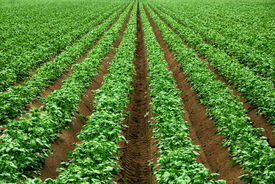picture of humus  - Field with rows of vibrant green crop plants on dark fertile soil - JPG