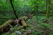 stock photo of ash-tree  - Broken giant ash tree lying in front of natural deciduous stand of Bialowieza Forest - JPG