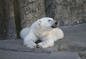 picture of bestiality  - Polar Bear taking a break - JPG