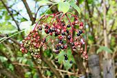 foto of elderberry  - Growing elderberry unripe fruits after rain in the garden  - JPG
