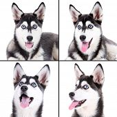 picture of husky  - Husky portraits collage - JPG
