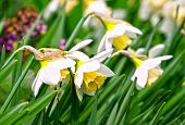 picture of narcissi  - close up of beautiful daffodils  - JPG