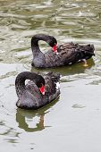 picture of black swan  - Couple of black swans swimming in a pond - JPG