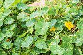 stock photo of nasturtium  - closeup plant green nasturtium in the garden - JPG