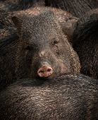 foto of boar  - Picture of a wild boar in a herd of other boars - JPG