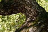 image of willow  - bough of old willow tree in autumn - JPG