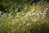 stock photo of pampas grass  - shining silver grass with wind in a field - JPG