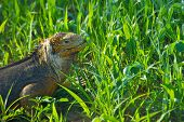 picture of darwin  - Charles Darwin described the Galapagos land iguana as ugly animals - JPG