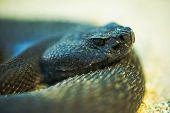 stock photo of snake-head  - Crotalus Ruber - JPG
