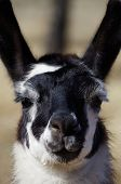 picture of appaloosa  - An appaloosa llama stares down the viewer - JPG