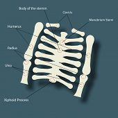 foto of descriptive  - Structure of human backbone skeleton with its parts name description on blue background - JPG