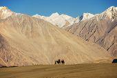 image of karakoram  - caravan travellers riding camels Nubra Valley Ladakh  - JPG