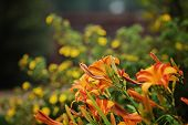 foto of day-lilies  - beautiful summer garden with blooming orange day - JPG