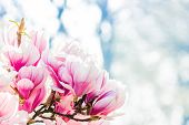 foto of magnolia  - close up beauty of spring flowers magnolia - JPG