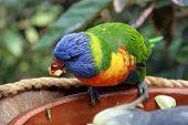 foto of lorikeets  - Colorful Rainbow Lorikeet in Tenerife Island - JPG