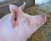 image of farrow  - The head of a pig in a stable of a farm with a facial expression - JPG