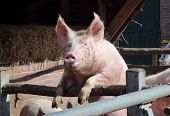 image of farrow  - A portrait of a young pig at a farm - JPG