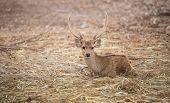 picture of wild hog  - this is hog deer or Hyelaphus porcinus - JPG