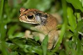 stock photo of pet frog  - Frog macro photo lens 100 mm - JPG